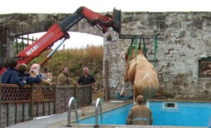 Cow being lifted out of swimming pool